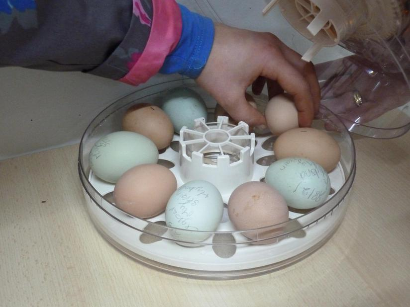 We are hatching 10 chicken eggs in our incubator