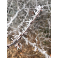 Frosty branches...