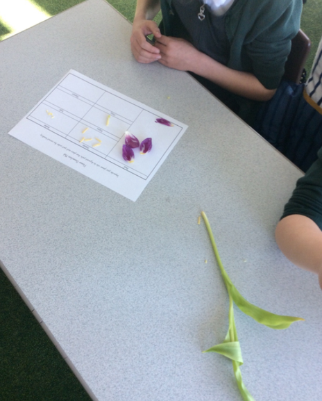 As part of our Science topic we dissected flowers and grouped the parts.