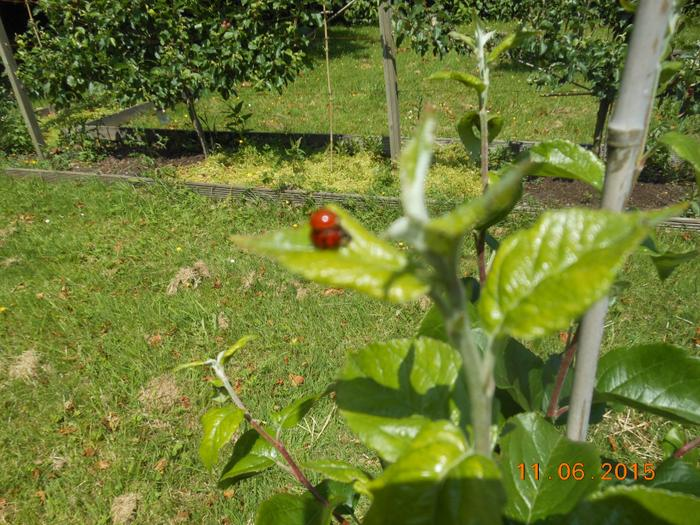 Ladybirds to eat the aphids