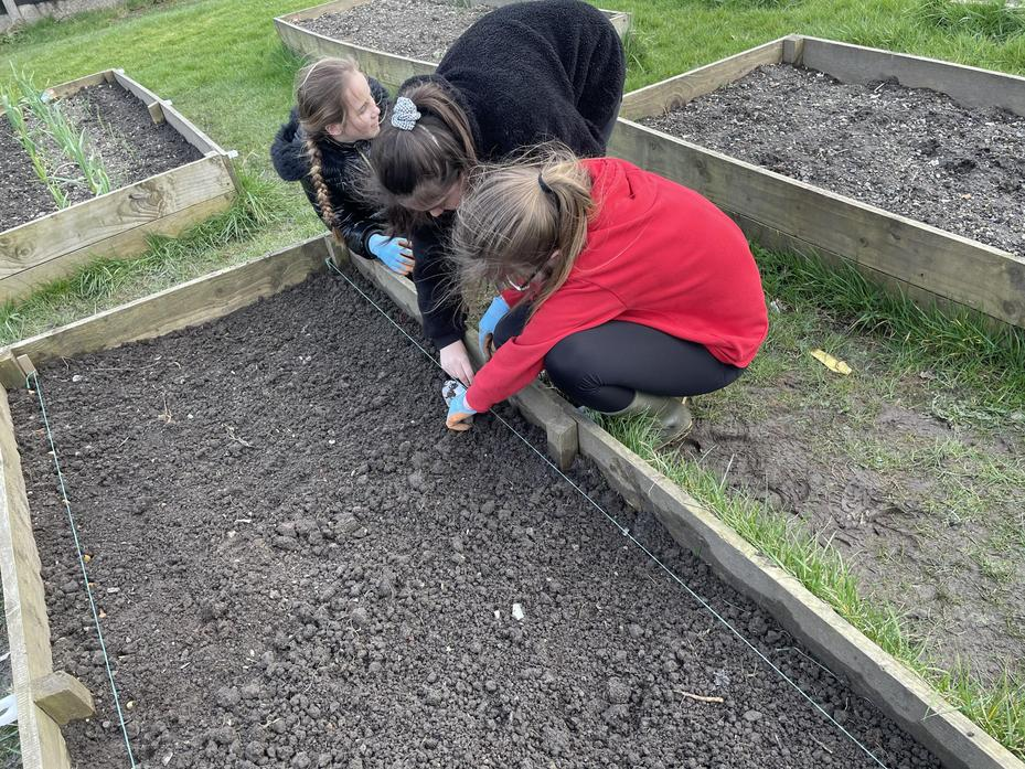 Year 6 sowing carrots