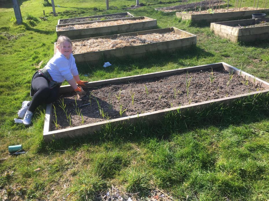 Planting Stuttgarter onions 25/3