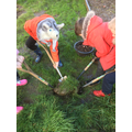 Digging holes and planting rhubarb