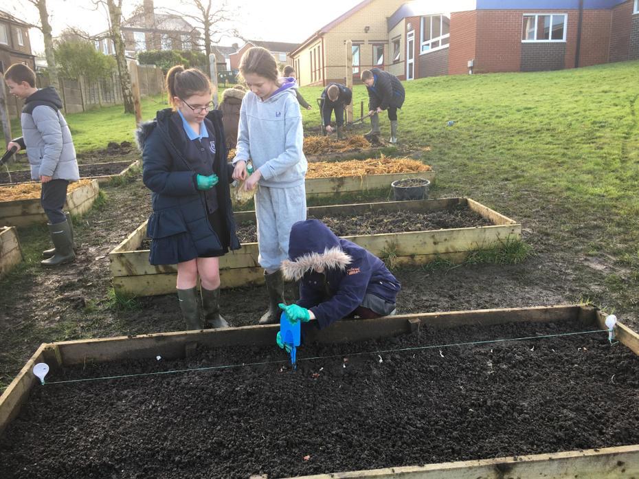 Planting winter onions