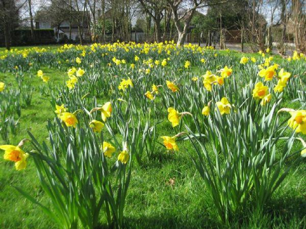 Our Daffodil meadow