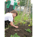 year4 plant French Marigolds