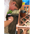 Carefully sowing Lettuce