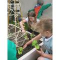 Yr3 plant Runner beans