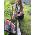 Our WW2 Dig for victory Vegetable plot