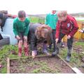 year5 planting garlic