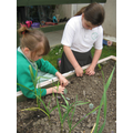 Planting baby lettuce in the year3 veg plot