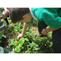 Strawberry picking in year5