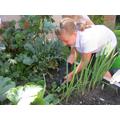 Weeding our new vegetable plot