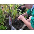 Weeding our WW2 garden 2015