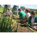Weeding vegetable plot