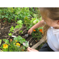 Weeding our WW2 garden