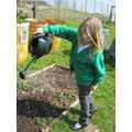 Watering the seedling