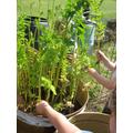 Picking parsnips