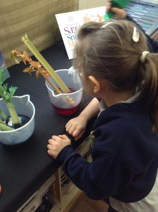 Watching the celery change colour!