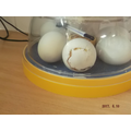 2. Ducks cut a circle at the end of the egg.