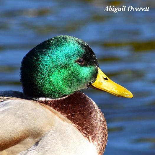 Abigail Overett - Peregrine.jpg