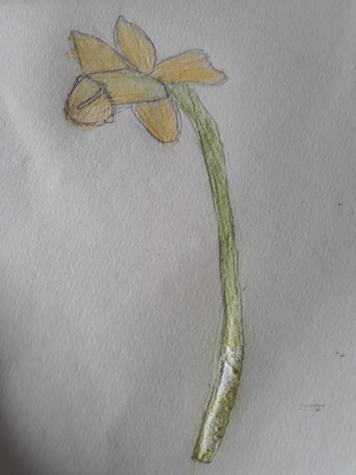 Ella's Daffodil
