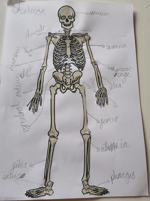 Rudy's Skeleton Labelling