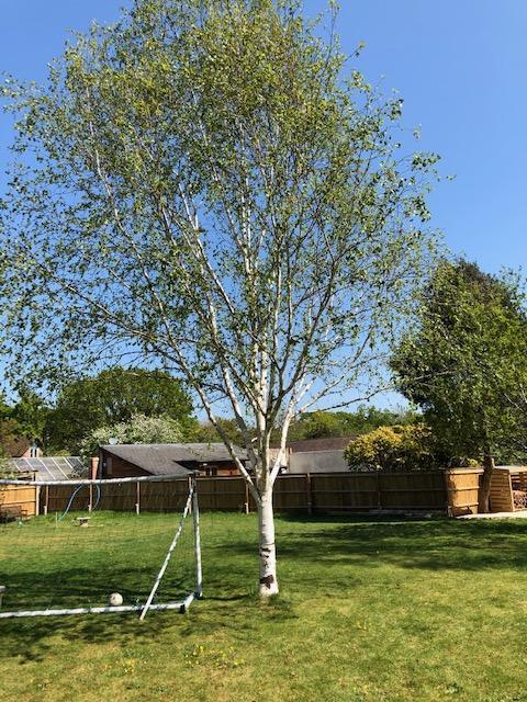 Liam's Silver Birch tree