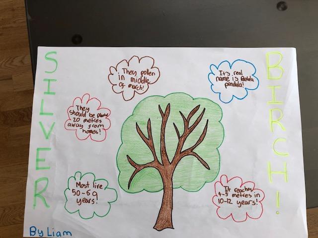 Liam's Silver Birch project