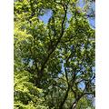 This lovely oak tree in full spring leaf!
