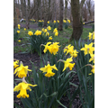 A host of golden daffodils... W Wordsworth.
