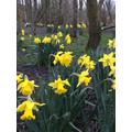A host of golden daffodils... W Wordsworth.
