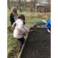 Raking the soil to make it level.