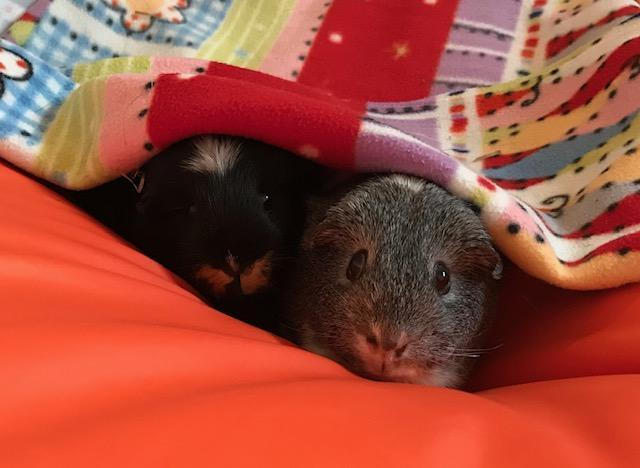 Our lovely guinea pigs