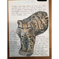 Olivia found out about Clouded Leopards