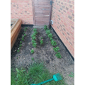 Joshua has planted some vegetables