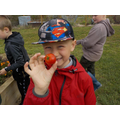 Harvesting tomatoes.
