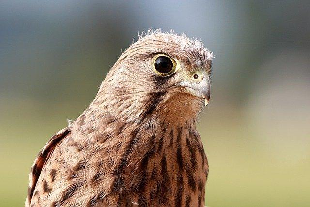 A male kestrel with big eyes sits and watches.