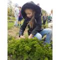 Harvesting parsley.
