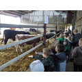 Feeding the cows and bullocks.