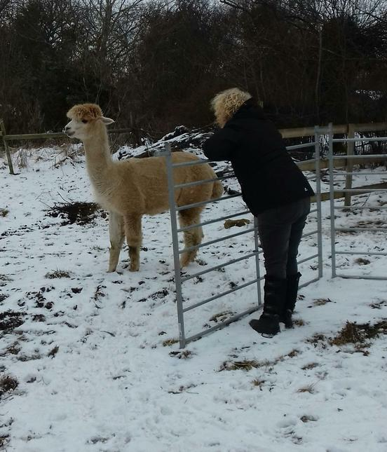 Mrs Rhodes had to look after the alpacas