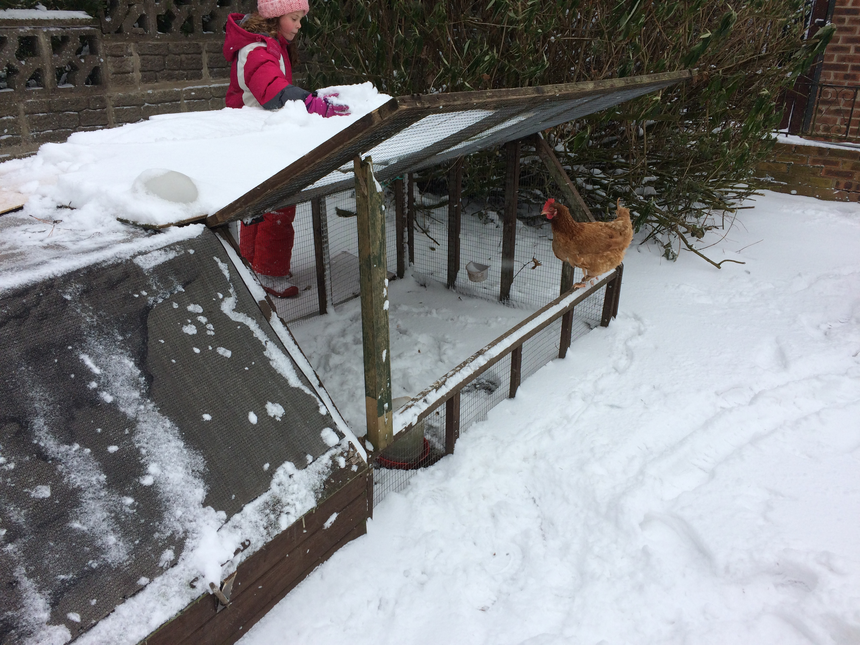 Lola trying to get Nugget, the chicken, outside