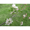 Blossom on our apple tree