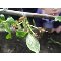 Apples starting to grow