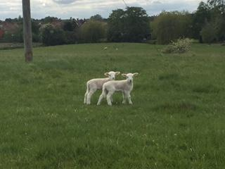 Lambs in the fields near Mrs McCall's house!