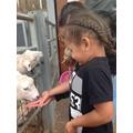 Runecco fed the sheep.