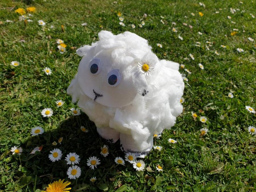 Alice's Welsh sheep in a field of daisies.