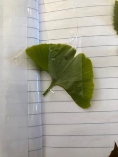 Ginkgo Bilabo leaf.