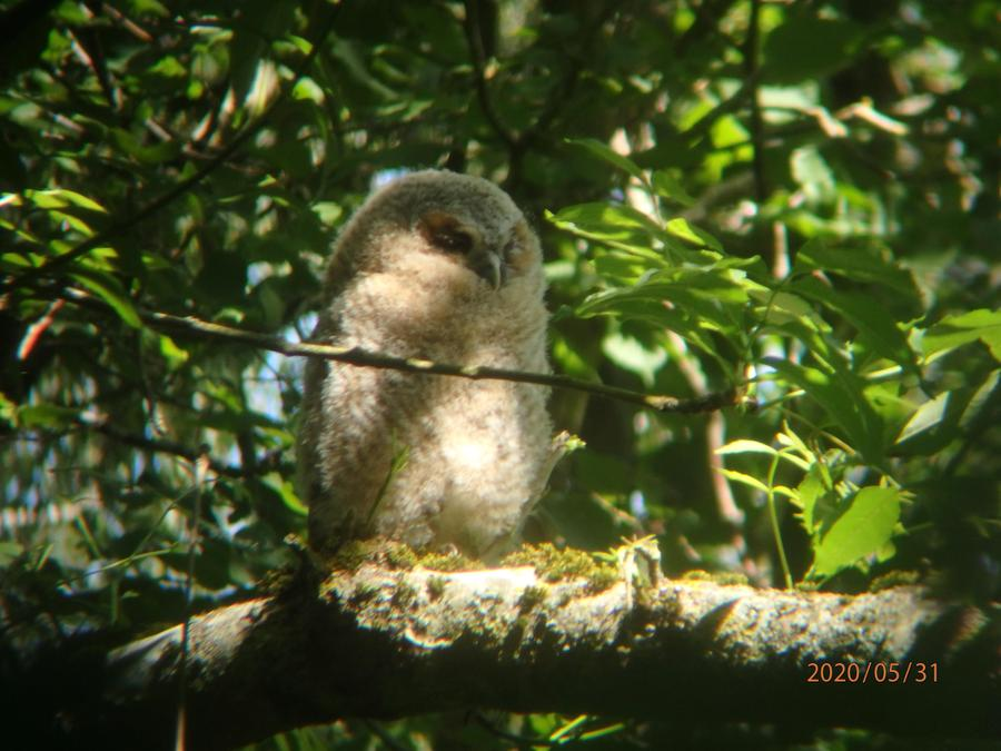 An owl chick spotted in Archie Pennington's garden