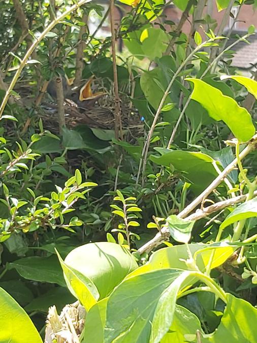 Ella's secret bird nest in the hedge.